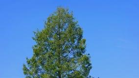 Big Tree On Blue Sky stock footage