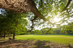 Big tree branch and bicycles in the park. - (Shallow of focus) stock photos