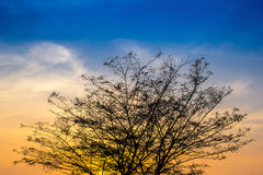 Big tree branch on after sunset with sky and golden light. (Sillhouette Stock Photography