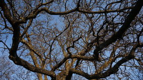 Big tree branches timelapse. Moving and changing light stock video footage