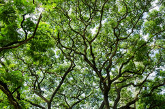 Big tree and branches of tree over head Royalty Free Stock Photos