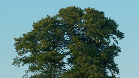 Big Tree In Breeze At Sunset. Big tree in afternoon breeze in golden sunlight stock video