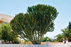 Big tree cactus with yellow flowers. In Cyprus stock photos