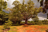Big tree ceiba on the ranch Royalty Free Stock Photos