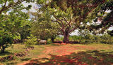 Big tree ceiba on the ranch Royalty Free Stock Photo