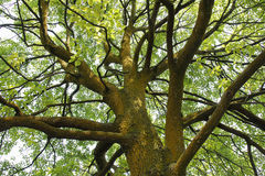 Big Tree. A big tree in Chinese Chongqing Nanshan Botanical Garden Royalty Free Stock Photos