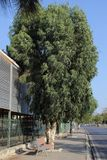 Big tree between city bazaar and road. From turkey, city center of Bostanli, we saw this old beautiful huge tree Stock Photo