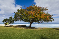 Big tree close to the beach of Grande Anse, Reunion Island. With a blue sky Stock Photos