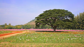 Big tree at Cosmos flower fields Stock Image