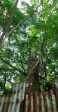 Big tree cover chimney of an old abandoned rice mill Royalty Free Stock Photos