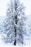 Big tree cover in snow Stock Photography
