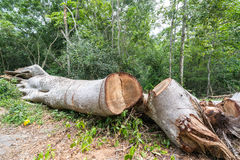 Big tree cut down in the forest, deforestation or global warming concept, environmental issue Royalty Free Stock Images