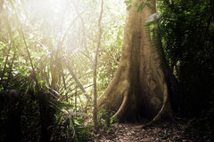 The big tree in deep forest with sun shine ray background Stock Photos