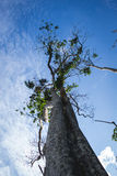 Big Tree in East Borneo Rainforest, Kalimantan Indonesia Stock Photos
