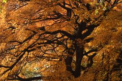 Big tree with fall colors. Big tree in central park new york city during fall orange leaves and dark trunk Stock Photos