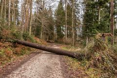 Big tree fallen across the woodland path after a big storm. In the forest Stock Photos