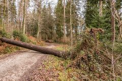 Big tree fallen across the woodland path after a big storm. In the forest stock image