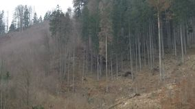Big  tree falling down , stock footage