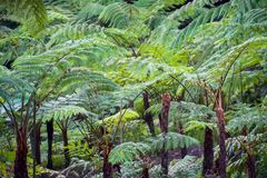 Big tree fern on rain forest at Siriphum Waterfall at Doi Inthanon National Park, Chiang Mai, Thailand.  stock images