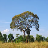 Big tree in the field Stock Images