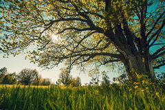 Big tree in a field Stock Photos