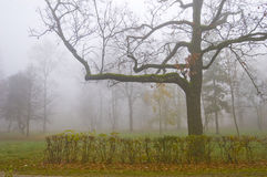 Big tree in the fog Royalty Free Stock Image