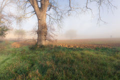 Big tree in a fog Stock Photo