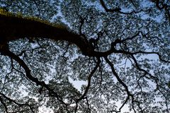 Big tree foliage silhouette Royalty Free Stock Images