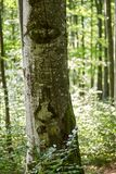 Big tree in the forest. Big beech tree bark with selective focus in the forest Royalty Free Stock Images