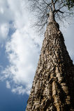 Big tree in the forest closeup Royalty Free Stock Image