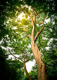Big Tree In Forest Royalty Free Stock Photo
