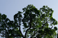 Big tree in forest. Big tree is growth in old forest and have 50 yearold Stock Photo