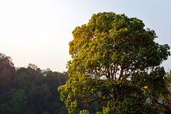 Big tree in forest with mountain Stock Photo
