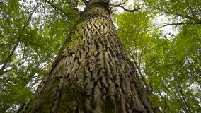 Big Tree in the Forest stock video footage
