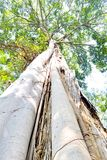 Big tree in the forest Thailand Stock Photo