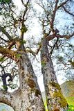 Big tree in the forest Thailand Royalty Free Stock Photography