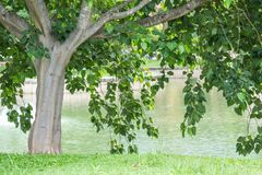 Big tree with fresh green leaves in garden.  Royalty Free Stock Photos