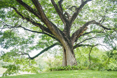 Big tree with fresh green leaves Royalty Free Stock Photos
