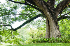 Big tree with fresh green leaves Royalty Free Stock Image