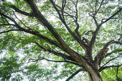 Big tree with fresh green leaves Stock Photo