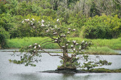Big tree full of cattle egret birds. Near Hilo, Big island, Hawaii royalty free stock images