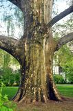 Big tree. A big tree in garden royalty free stock photography