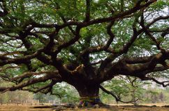 Big tree. Giant Monkey Pod Tree in thailand Stock Image