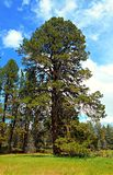 The Big Tree. Giant ponderosa pine at the Camp Polk Preserve near Sisters, OR royalty free stock photos