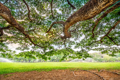 Big tree in golf course Royalty Free Stock Photography