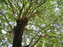 Big tree. Good shape of tree when in the sky Royalty Free Stock Image