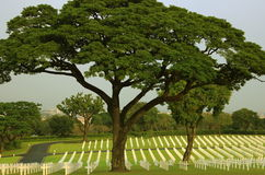 Big tree in grave Royalty Free Stock Photography