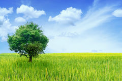 Big tree in green field with blue sky Stock Photos