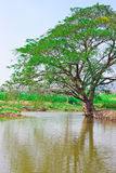 Big tree in the green field near pond royalty free stock photos