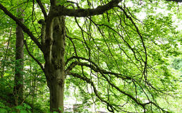 Big tree with green foliage Stock Photography